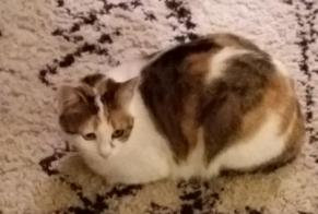 Disappearance alert Cat miscegenation Female , 5 years Brive-la-Gaillarde France