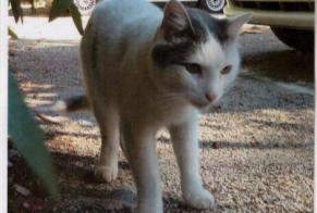 Disappearance alert Cat miscegenation Female , 11 years Chambéry France