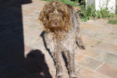 Disappearance alert Dog  Male , 6 years Les Pennes-Mirabeau France