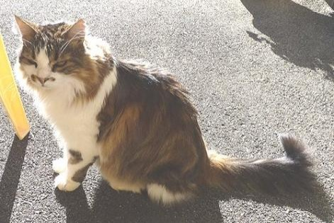Disappearance alert Cat miscegenation Male , 16 years Les Fontenelles France