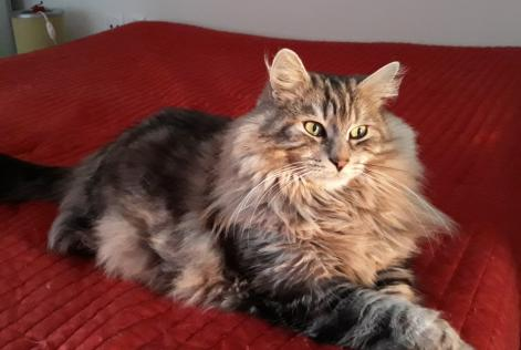 Disappearance alert Cat miscegenation Male , 6 years Lussas France