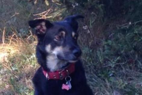 Disappearance alert Dog miscegenation Female , 6 years Sixt-Fer-à-Cheval France