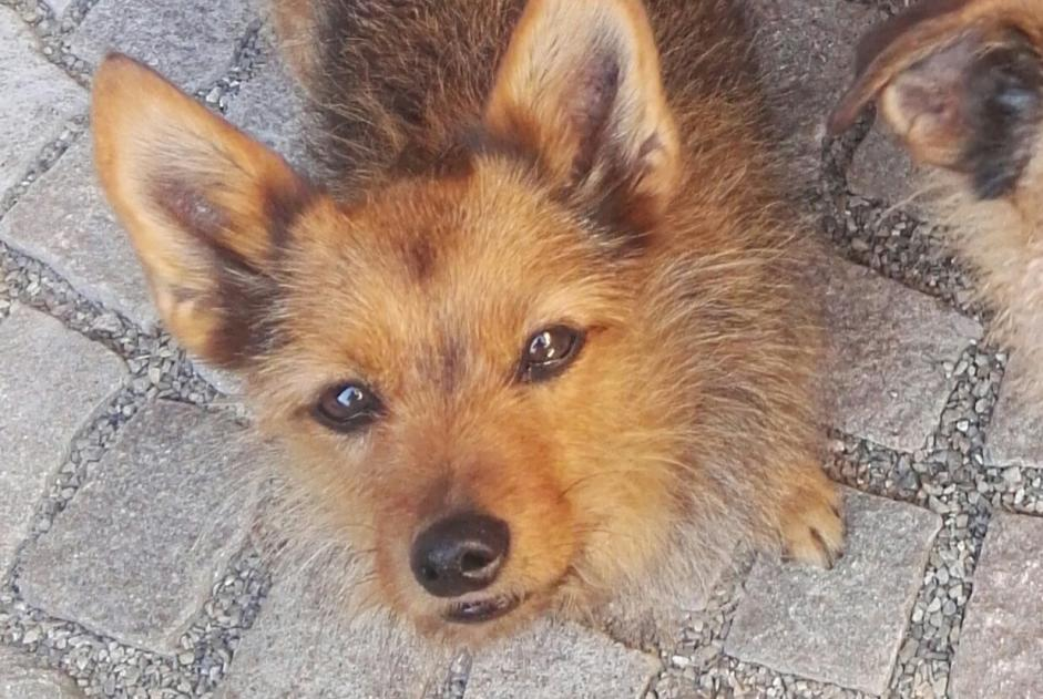 Disappearance alert Dog miscegenation Female , 12 years Kunheim France