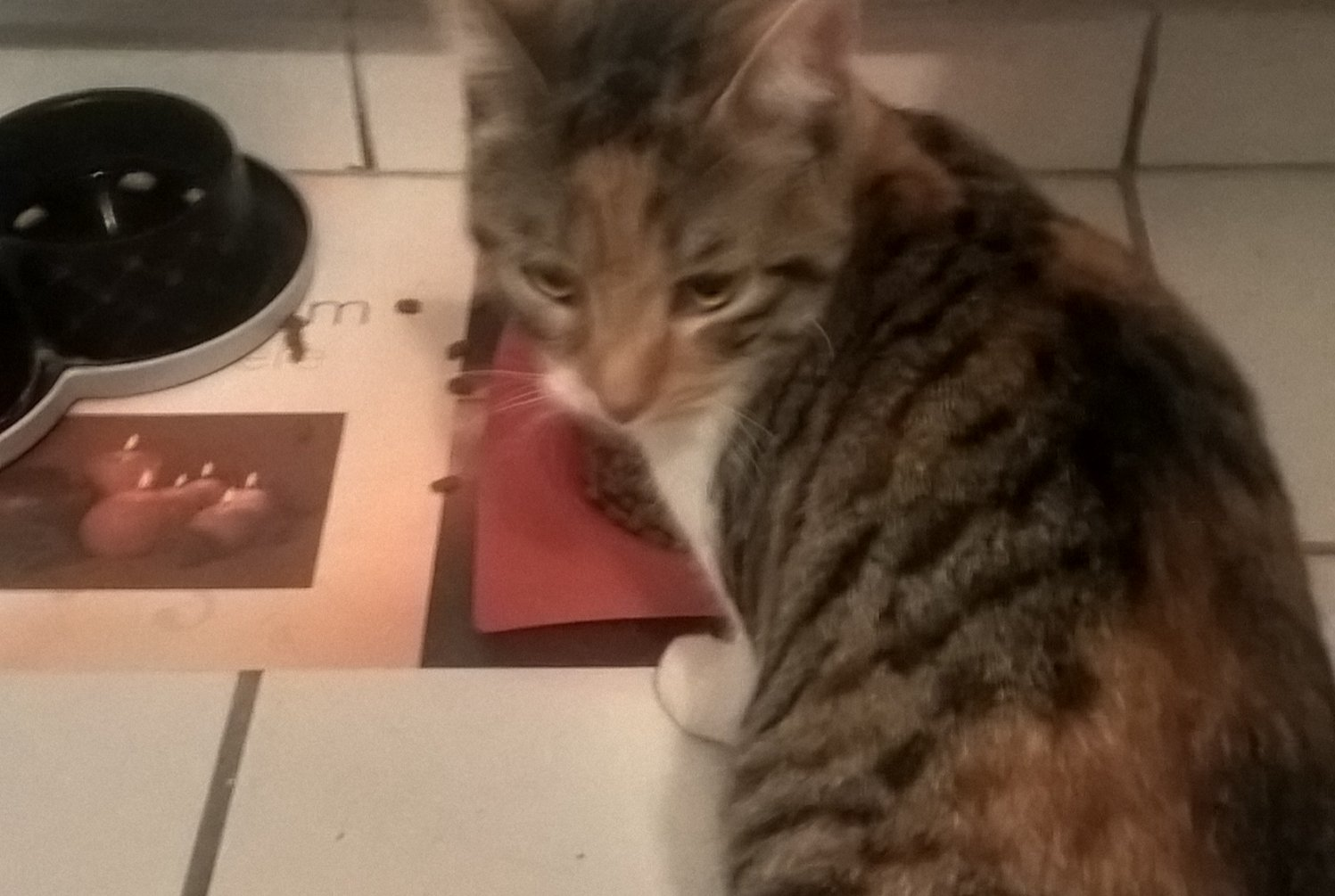 Discovery alert Cat miscegenation Female , Between 7 and 9 months La Balme-de-Sillingy France