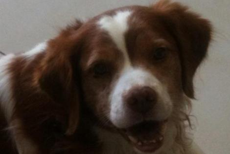Disappearance alert Dog Épagneul breton  Male , 15 years Annecy-le-Vieux France