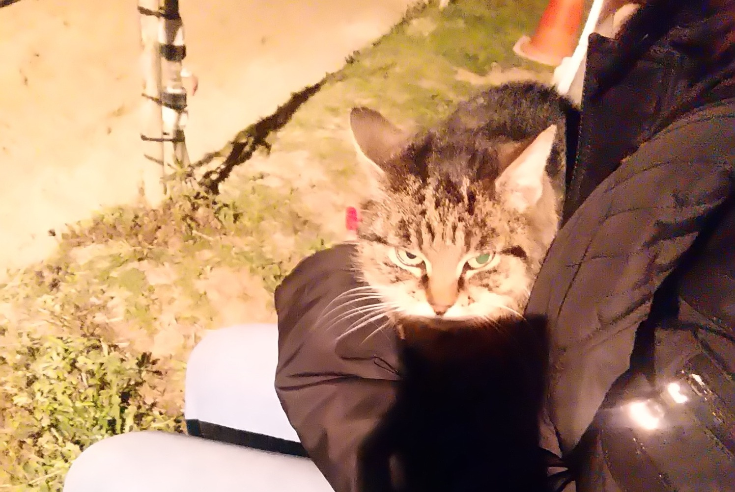 Discovery alert Cat  Female , 10 years Ollioules France