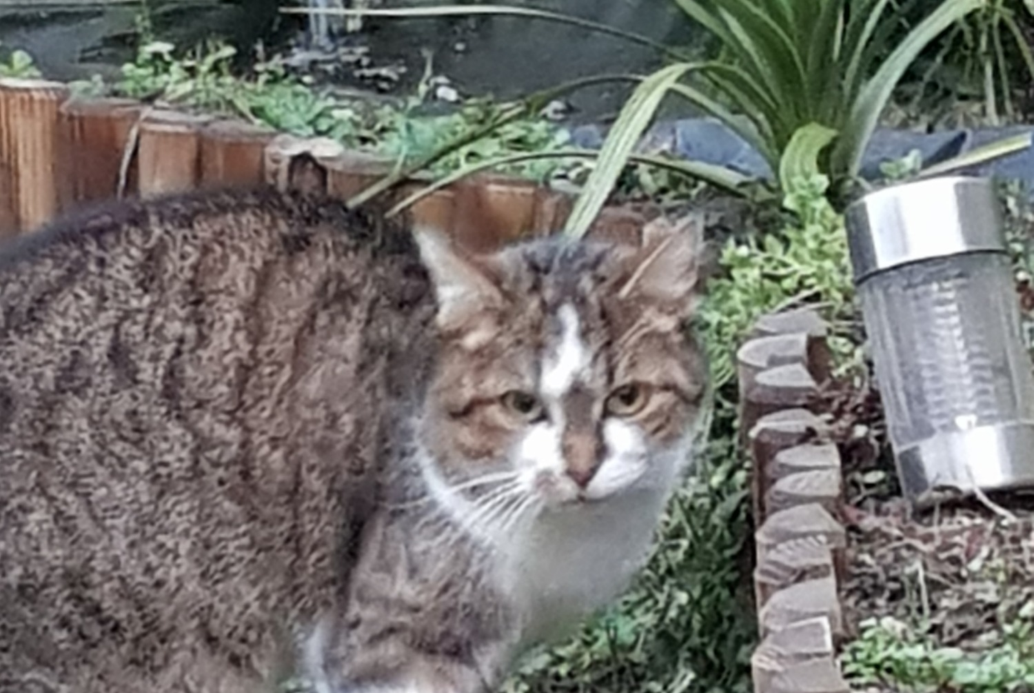 Discovery alert Cat Female , 2 years Fontenay-le-Vicomte France