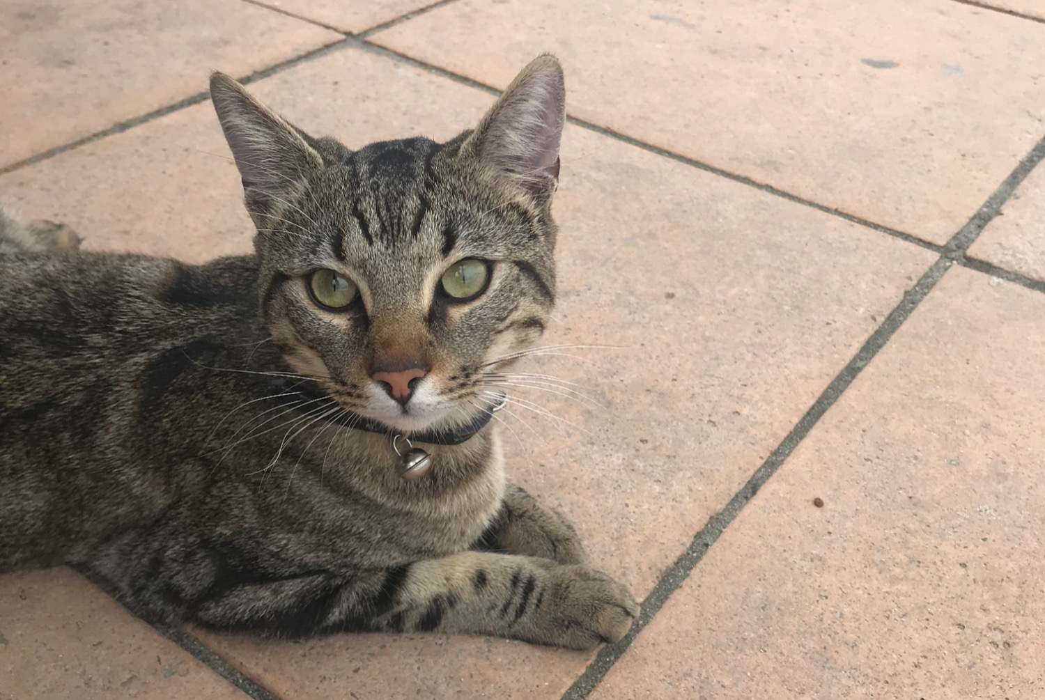 Discovery alert Cat Male , Between 9 and 12 months L'Île-Rousse France