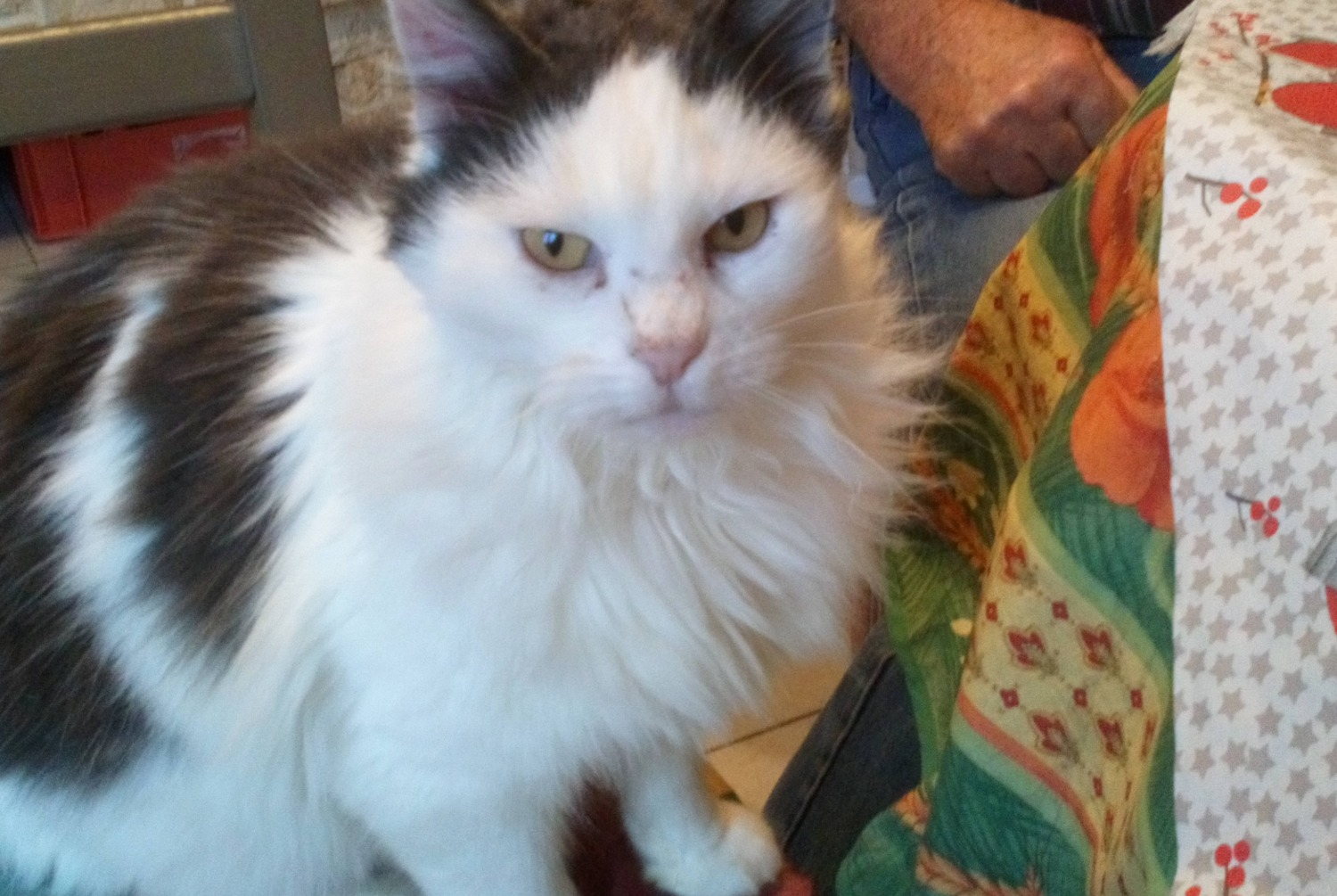 Discovery alert Cat Unknown , 5 years Saint-Georges-sur-Cher France