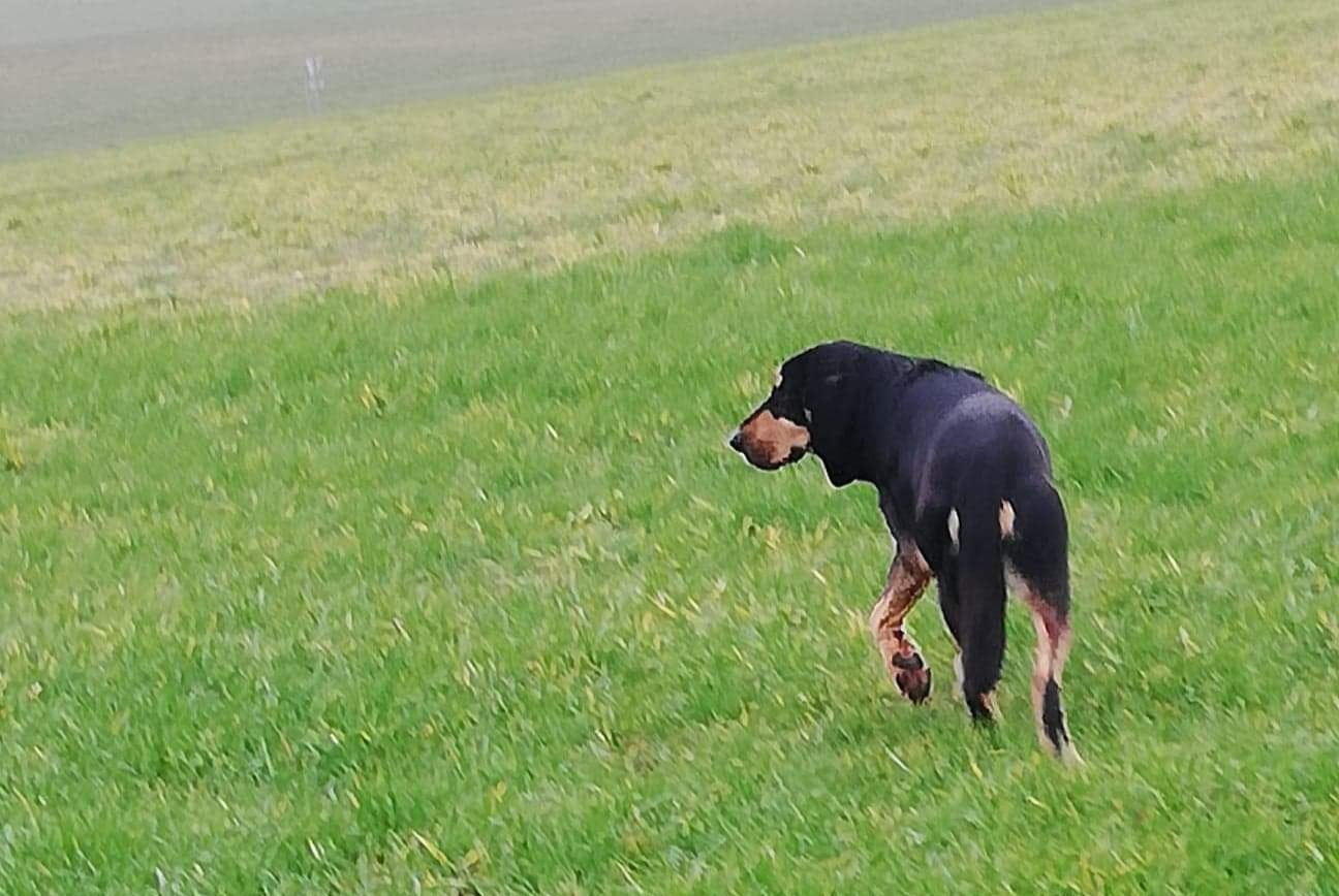 Discovery alert Dog miscegenation Male , 2 years La Chapelle-sur-Aveyron France