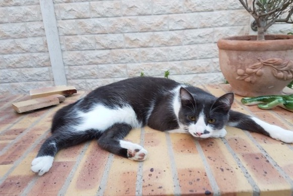 Disappearance alert Cat miscegenation Male , 3 years Éragny France