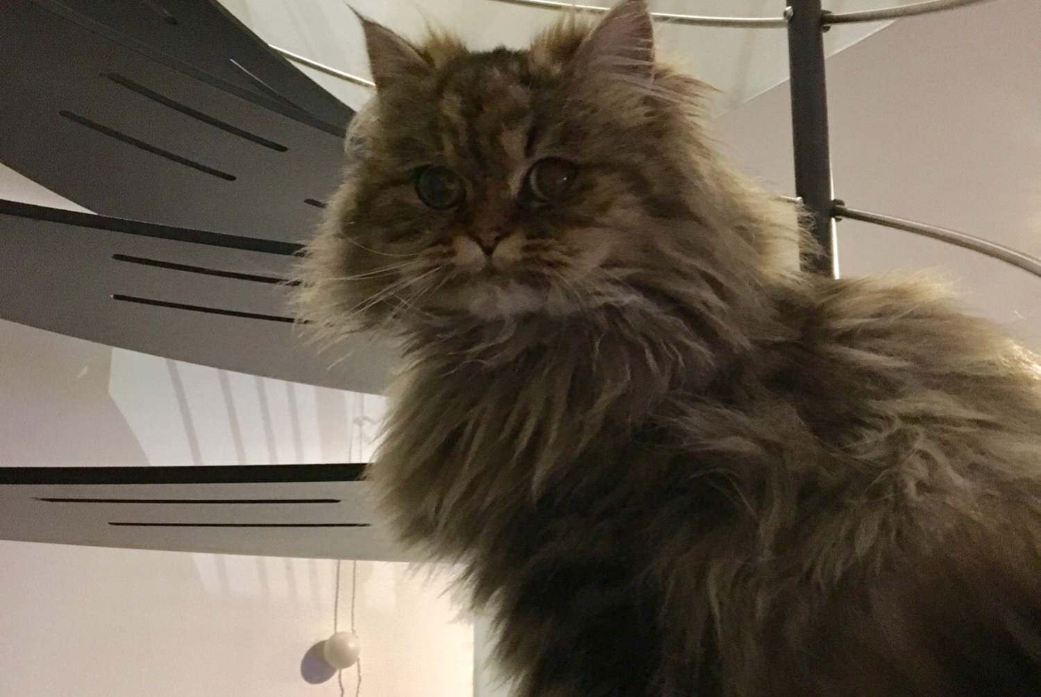 Disappearance alert Cat  Male , 3 years Saint-Genis-Laval France