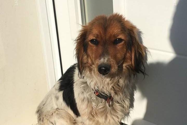 Discovery alert Dog  Female , 2 years Cessey-sur-Tille France