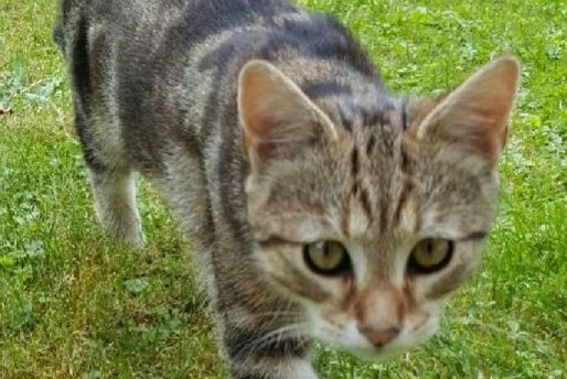 Disappearance alert Cat  Male , 3 years Les Clayes-sous-Bois France