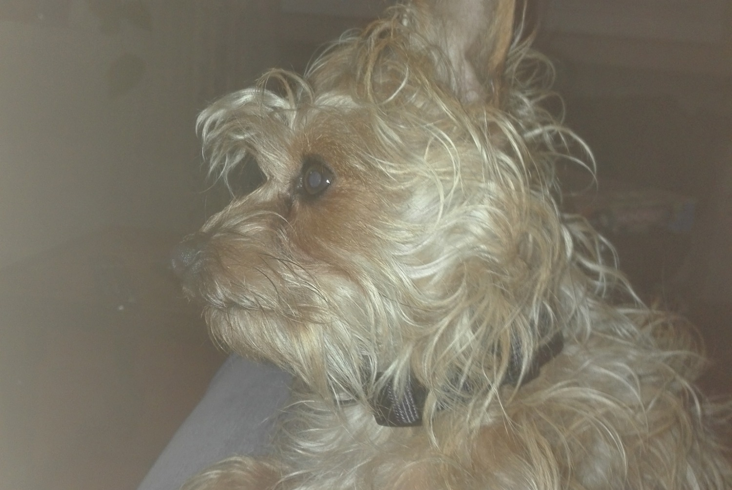 Disappearance alert Dog miscegenation Female , 1 years Saint-Étienne France