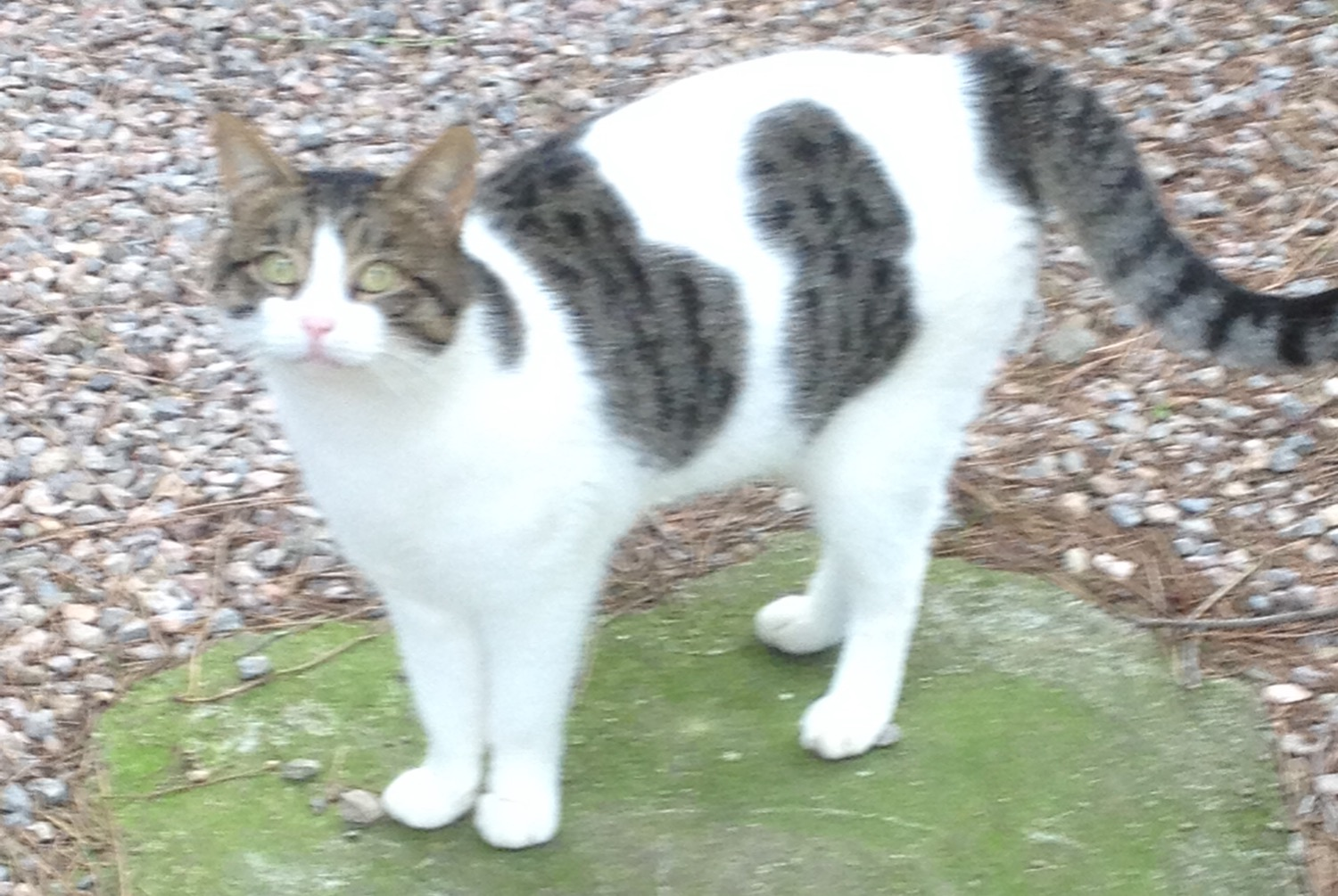 Discovery alert Cat Male , 4 years Fourques France