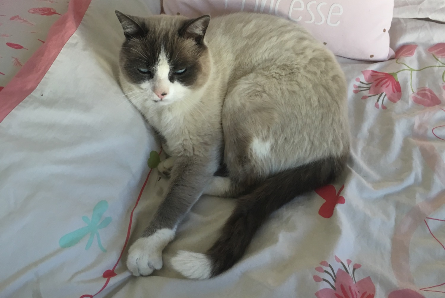Disappearance alert Cat miscegenation Male , 9 years Néfiach France