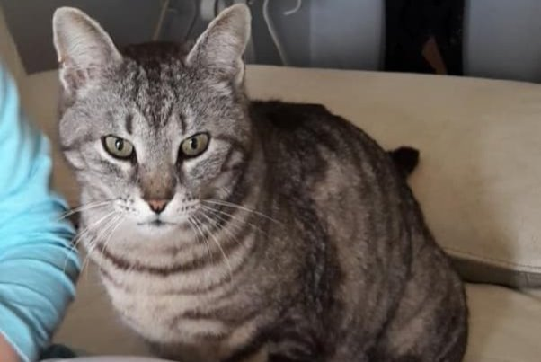 Disappearance alert Cat miscegenation Male , 10 years Ajaccio France
