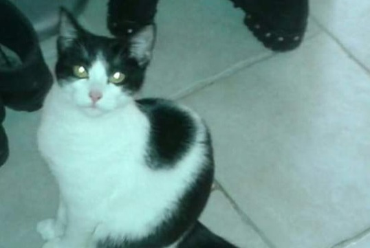 Disappearance alert Cat  Male , 1 years Saint-Étienne France