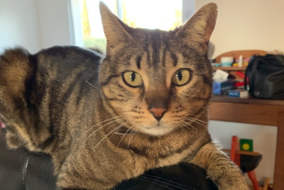 Disappearance alert Cat miscegenation Female , 8 years Aix-en-Provence France