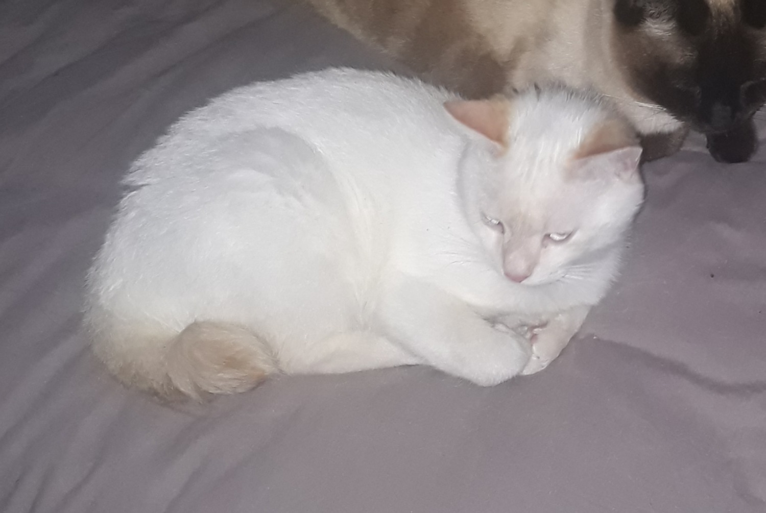 Disappearance alert Cat miscegenation Male , 1 years Martigues France