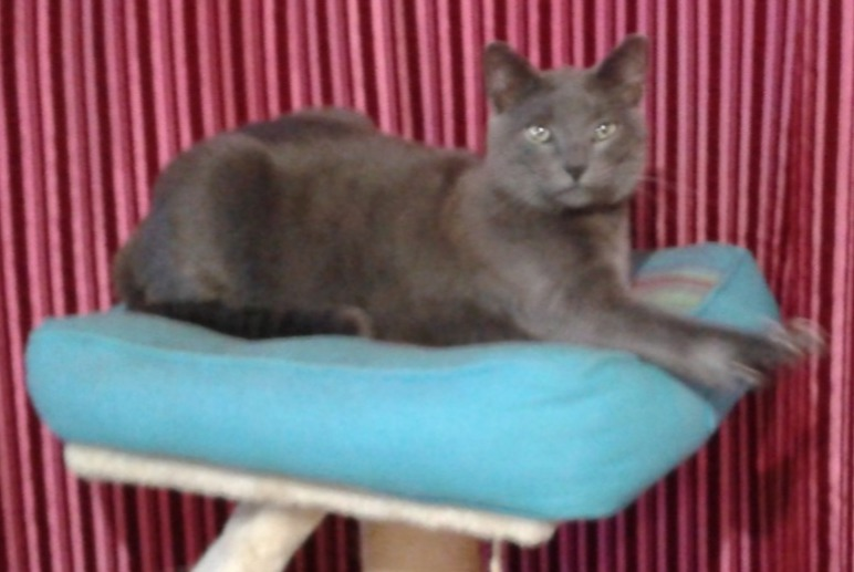 Disappearance alert Cat  Male , 2 years Brétigny-sur-Orge France
