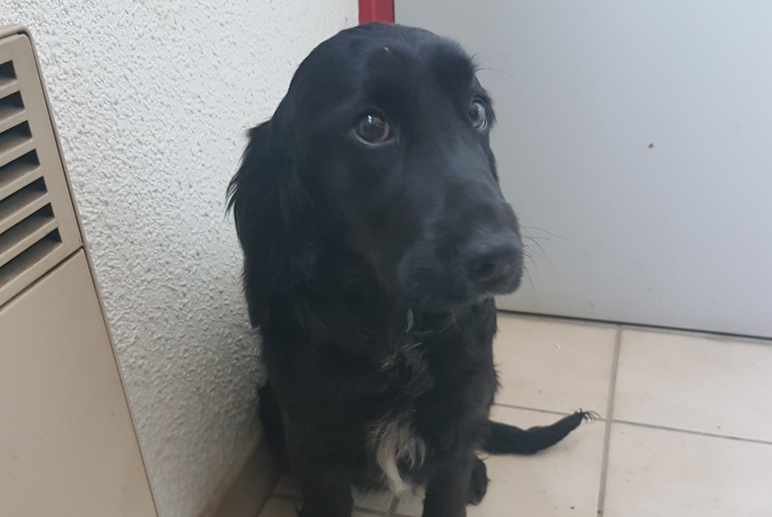 Discovery alert Dog  Female , Between 7 and 9 months Sonnay France