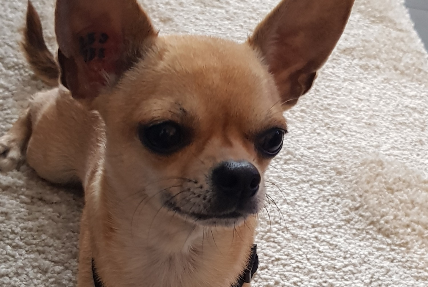 Discovery alert Dog  Female , 2 years Marseille 15e Arrondissement France