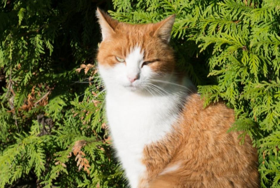 Disappearance alert Cat Male , 10 years Plouay France