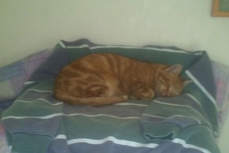 Disappearance alert Cat  Male , 12 years Guilers France