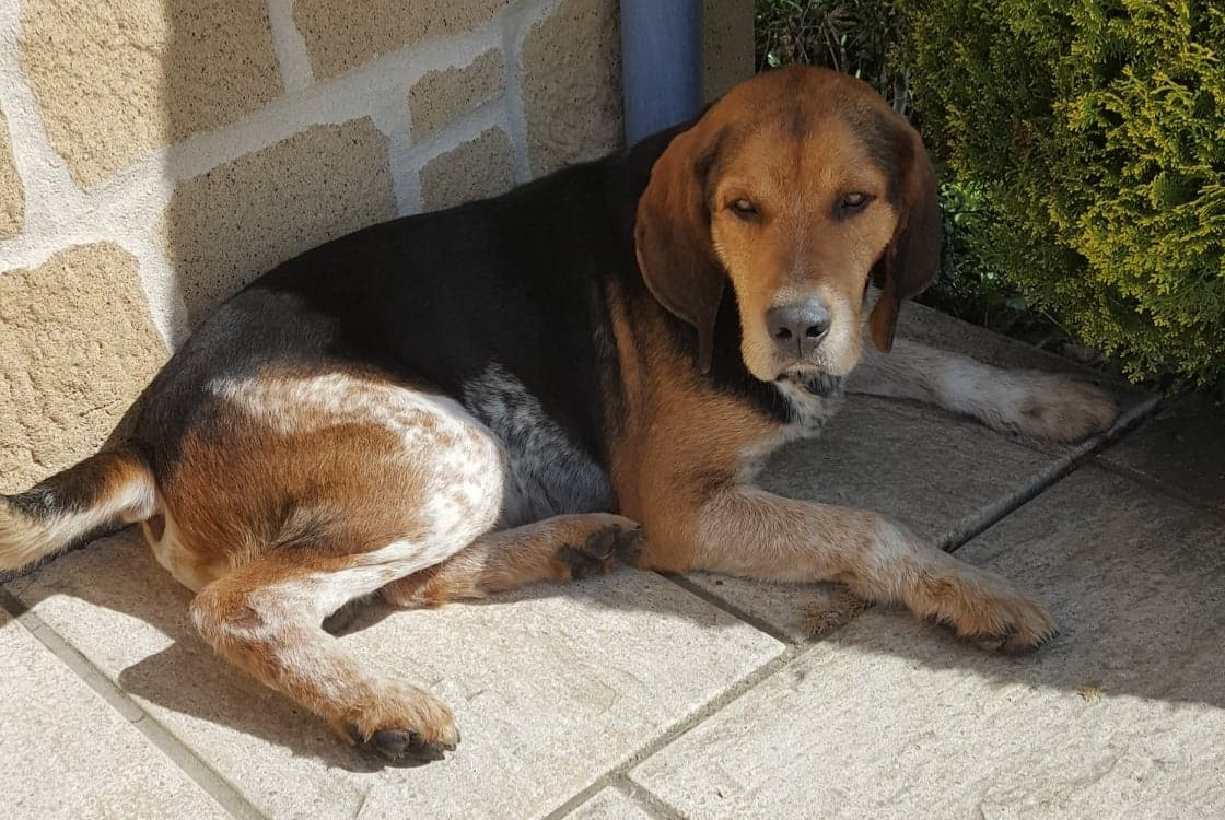 Discovery alert Dog miscegenation Male , 8 years Saint-Martin-sur-Oust France