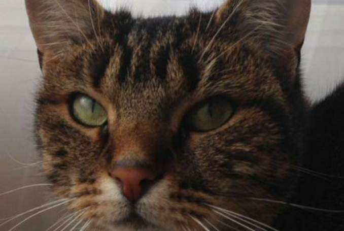 Disappearance alert Cat Female , 3 years Montigny-lès-Cormeilles France