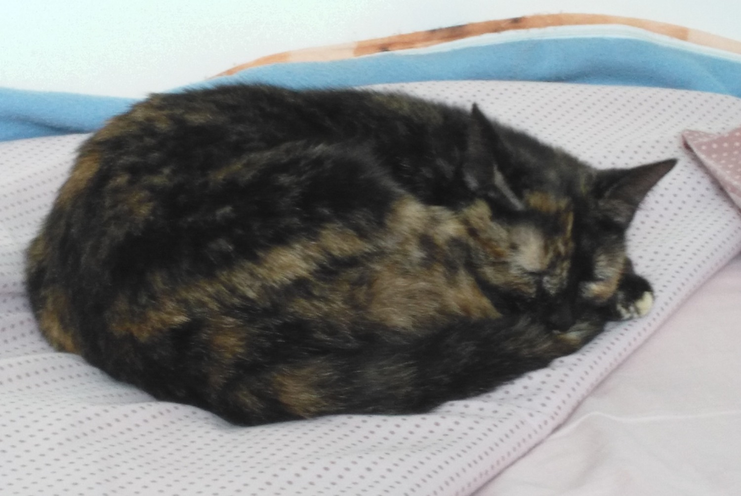 Discovery alert Cat miscegenation Female , 4 years La Barre-de-Monts France