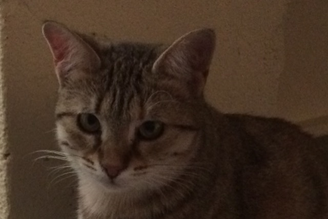 Disappearance alert Cat Female , 1 years Serra-di-Fiumorbo France