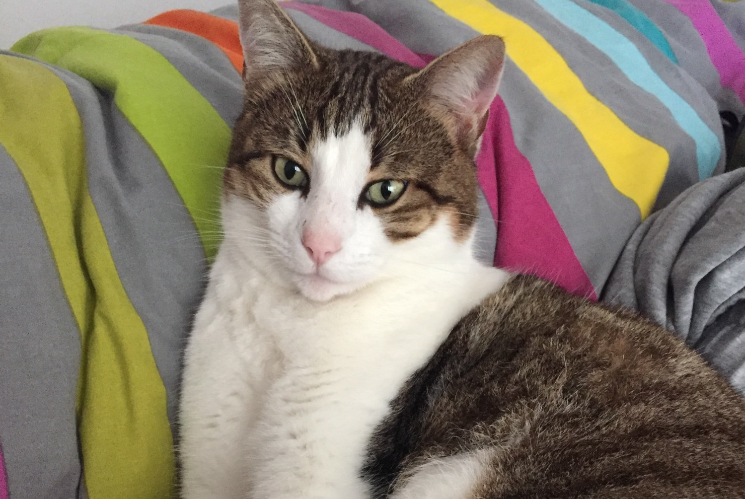 Disappearance alert Cat miscegenation Male , 5 years Ombrée d'Anjou France