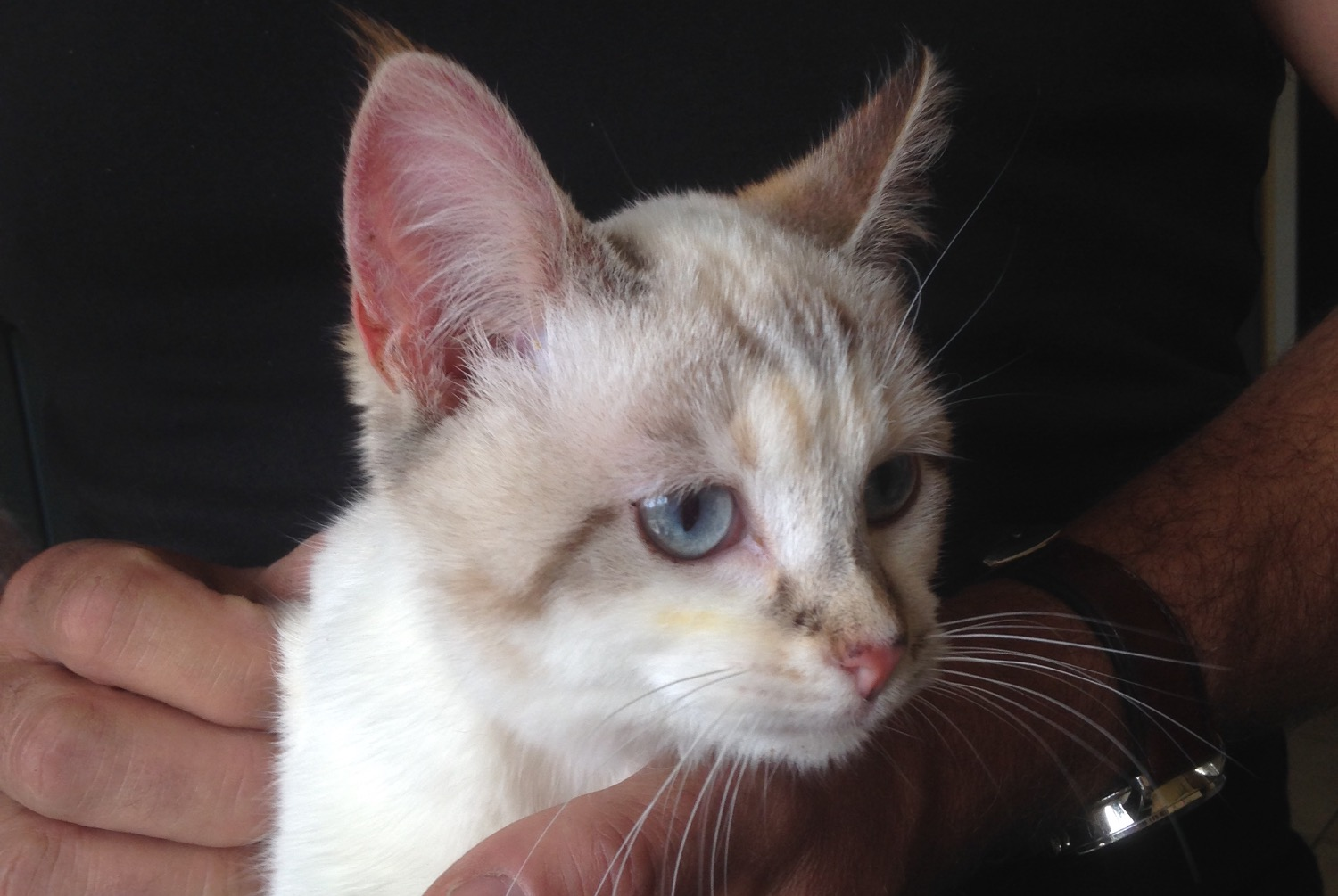 Discovery alert Cat Female , Between 4 and 6 months Thèreval France