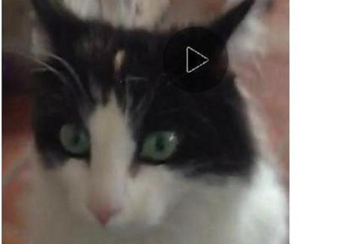 Disappearance alert Cat Female , 3 years Sainte-Suzanne-et-Chammes France