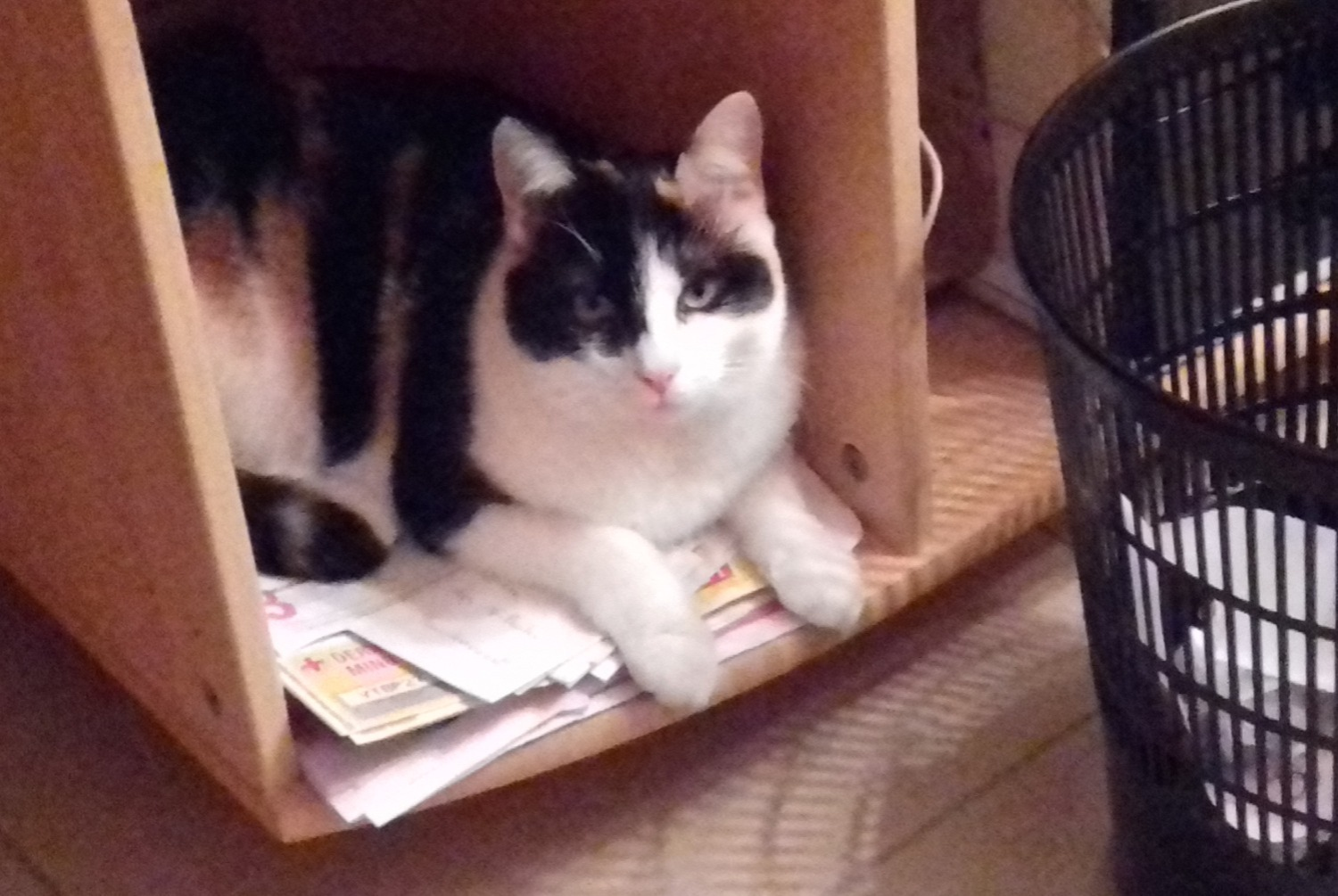 Disappearance alert Cat  Female , 1 years Thonnance-les-Moulins France