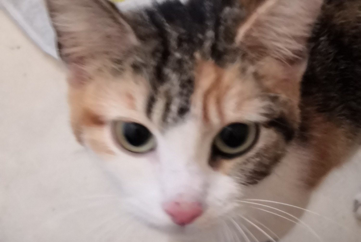 Discovery alert Cat Female , 1 year Cherbourg-en-Cotentin France