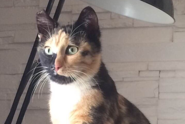 Disappearance alert Cat Female , 1 years Vescovato France
