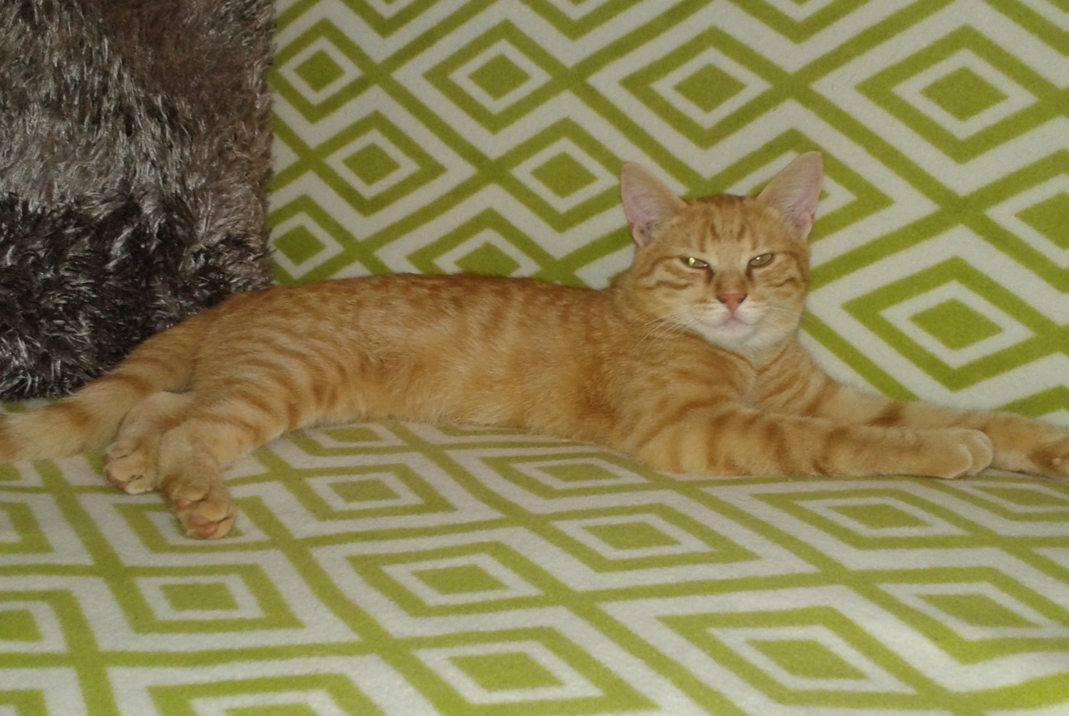 Disappearance alert Cat Male , 2 years Molac France