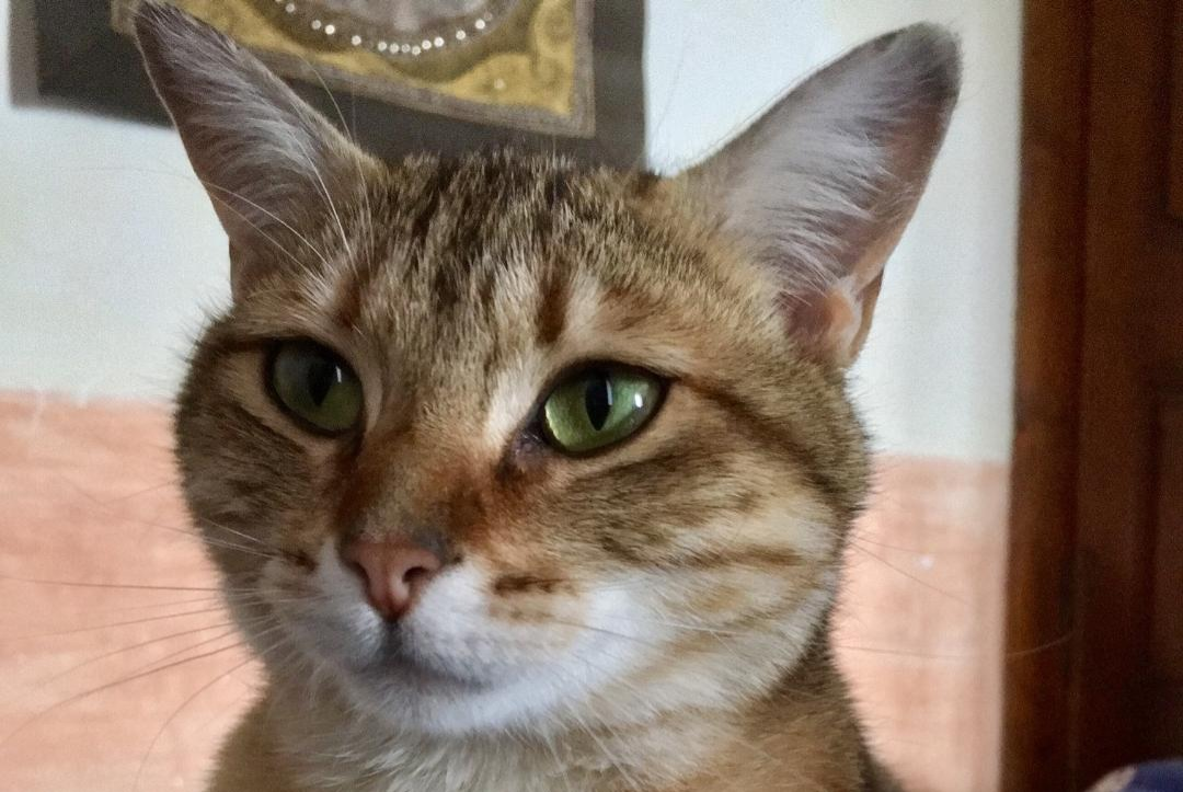 Discovery alert Cat miscegenation Female , 2 years Villaz France