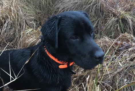 Disappearance alert Dog  Male , 1 years Bailleau-le-Pin France