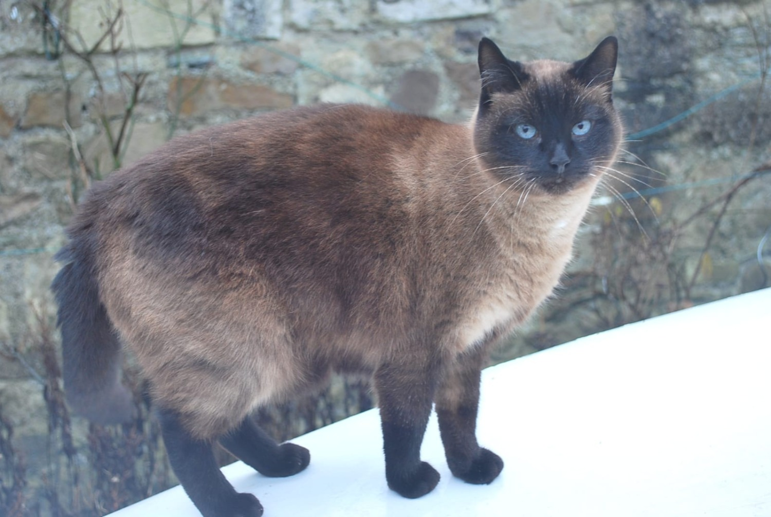 Disappearance alert Cat Male , 12 years Cherbourg-en-Cotentin France