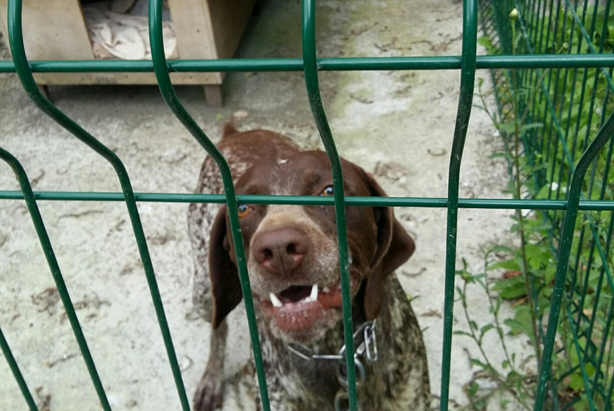 Discovery alert Dog  Female , 1 year Marigny-Le-Lozon France