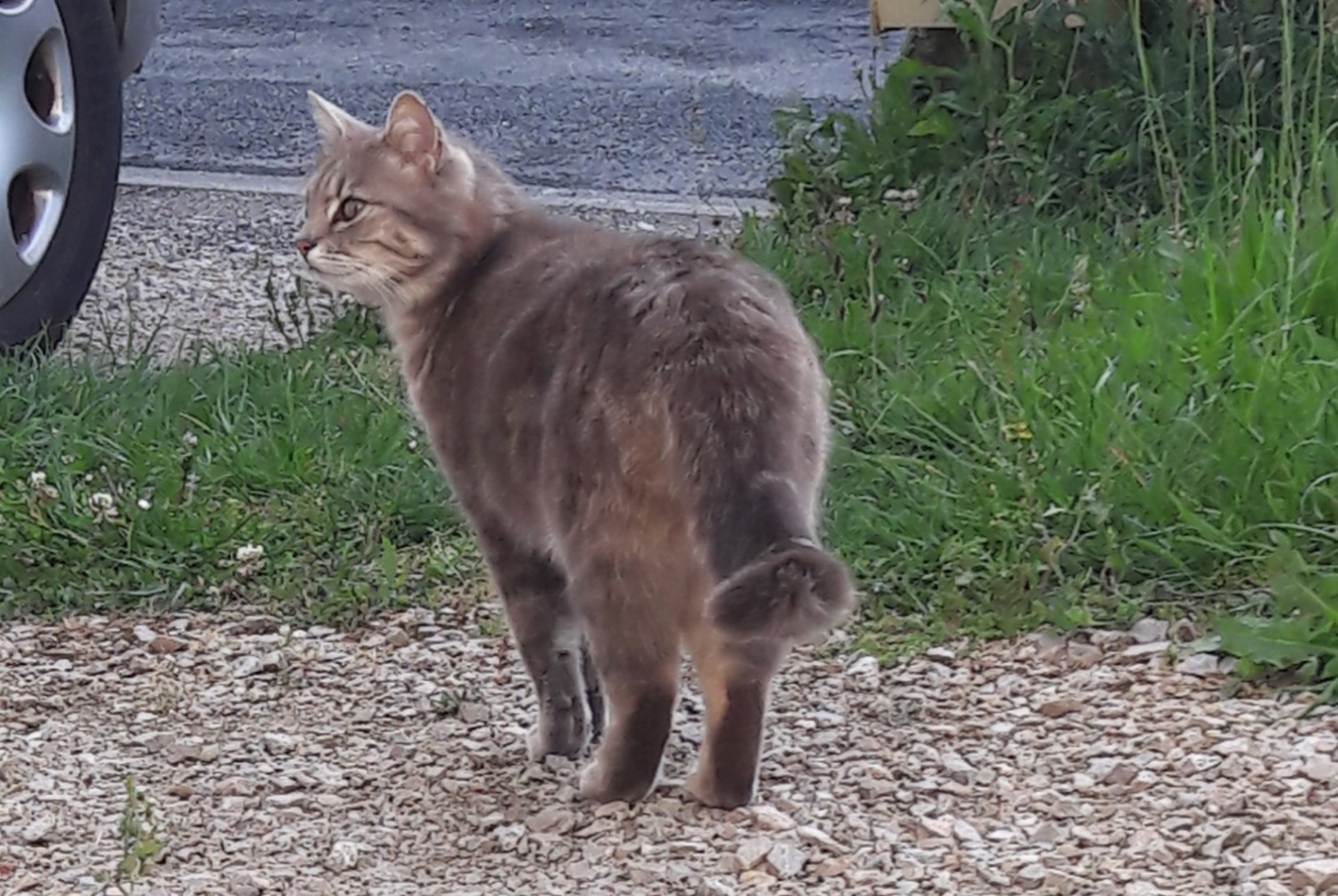Discovery alert Cat Female , 2 years Saint-Sulpice-la-Pointe France