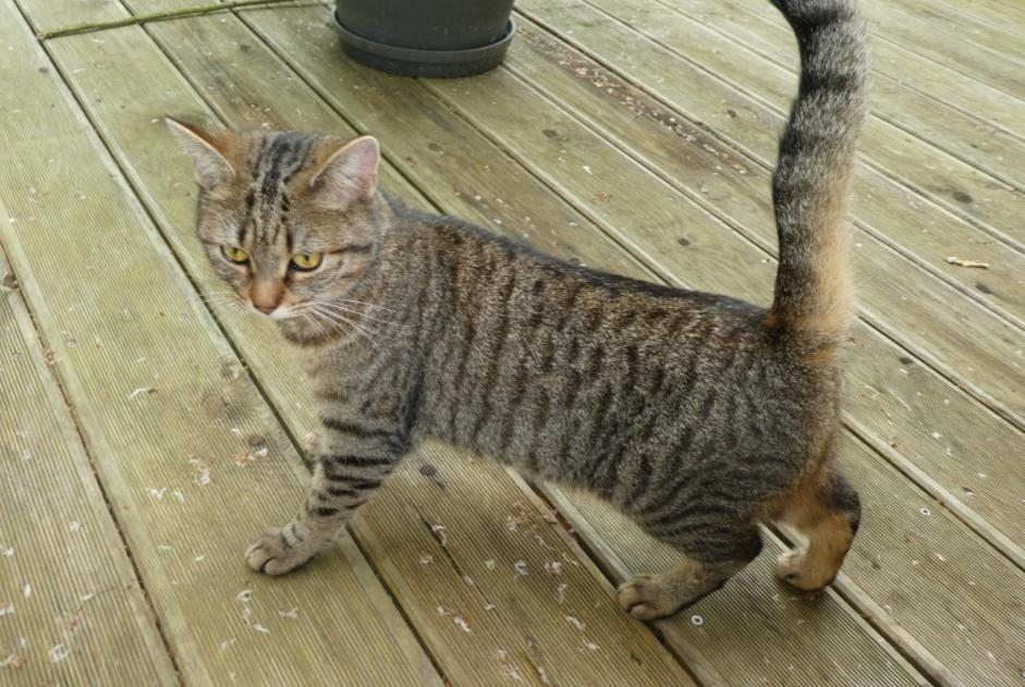 Discovery alert Cat Female , Between 9 and 12 months Saint-Nicolas-de-Redon France