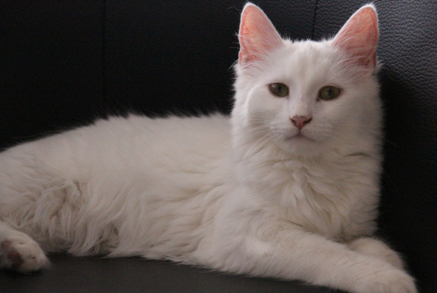 Disappearance alert Cat Female , 1 years Saint-Julien-de-Concelles France
