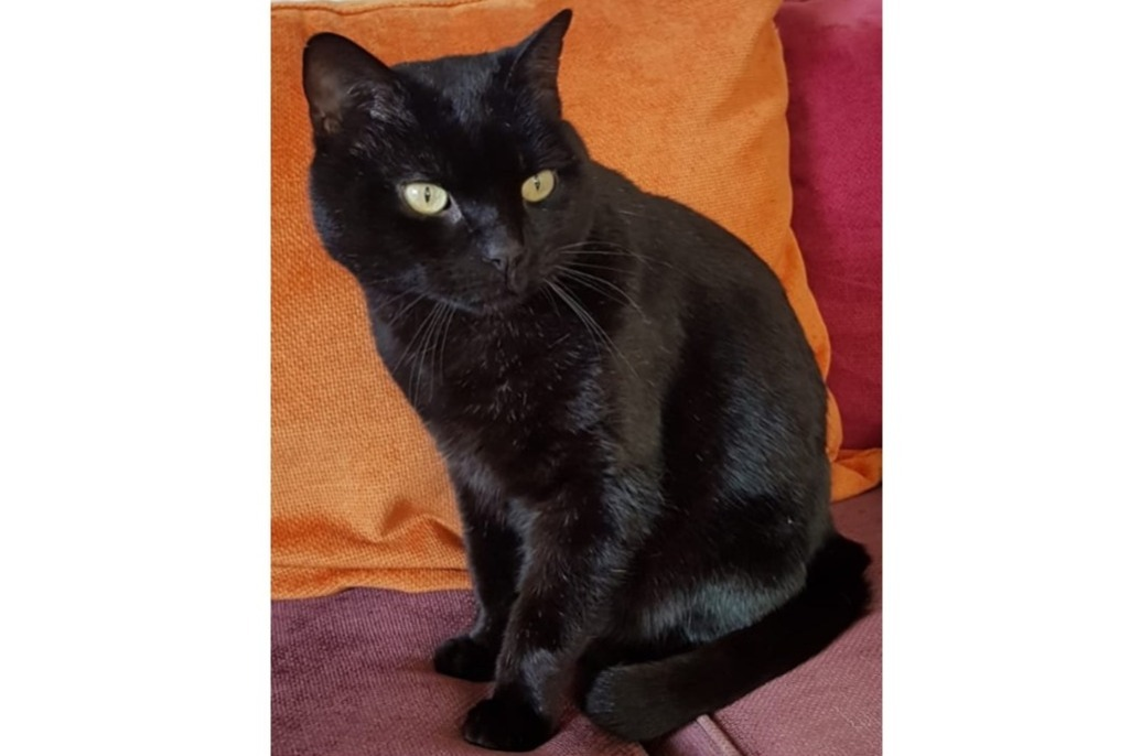 Disappearance alert Cat miscegenation Male , 8 years Annecy France