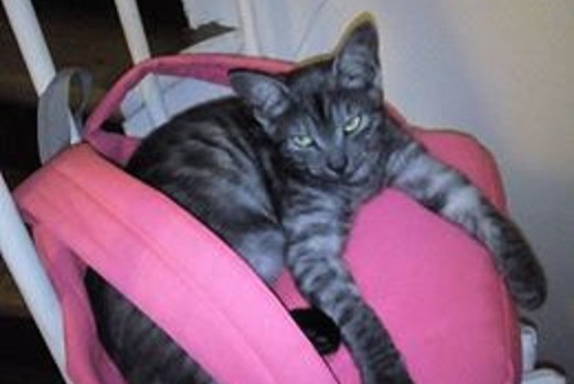 Disappearance alert Cat Male , 2 years Antony France